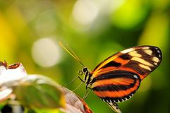 Ismenius Butterfly Royalty Free Stock Photography