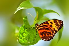 Ismenius butterfly on leaf with blurred background Stock Image