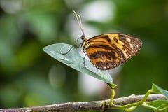 Ismenius Heliconius, тигр Ismenius или тигр heliconian стоковое фото rf