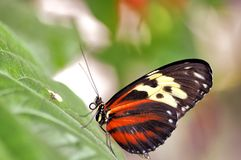 Ismenius tiger butterfly on green leaf Royalty Free Stock Photo