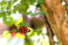 Ismenius Tiger butterfly Stock Image