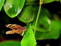 Ismenius Tiger (Heliconian) butterfly Stock Image
