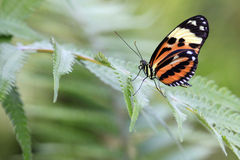 Ismenius Tiger / Heliconius ismenius butterfly on green leaf Stock Image