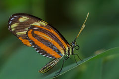 Ismenius Tiger Longwing Butterfly Fotografia Stock
