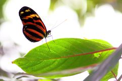 Ismenius tiger or tiger heliconian butterfly stock photography