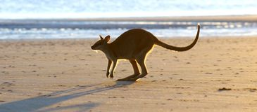 Kangaroo on Beach. It isn`t common to see a kangaroo or wallaby on the beach in Australia.  It was a delight for me to be able to capture this image.  People Stock Image