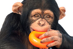 This Isn't A Donut. Closeup of a Chimpanzee chewing a child's toy Royalty Free Stock Photography