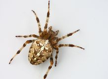 Isoaled spider Royalty Free Stock Photography