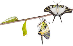 Isoalted five bar swordtail butterfly life cycle royalty free stock photos