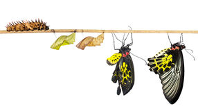 Isoalted life cycle of common birdwing butterfly. Isolated life cycle of common birdwing ( goldenwing) butterfly from caterpillar with clipping path stock photo