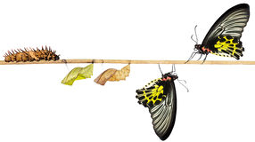 Isoalted life cycle of female common birdwing butterfly. Isolated life cycle of female common birdwing ( goldenwing) butterfly from caterpillar with clipping royalty free stock photography