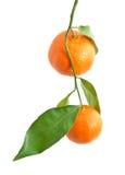 Isoalted tangerine obrazy royalty free