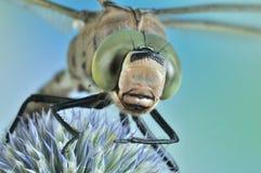 Isoceles Aeshna Dragonfly Стоковое Изображение