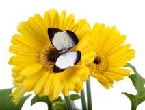 Isocharis di Delias della farfalla Immagine Stock