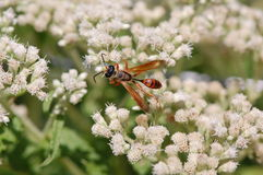 Isodontia wasp on boneset flowers Stock Photography