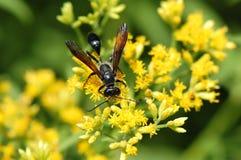 Isodontia wasp on goldenrod flower Stock Photos