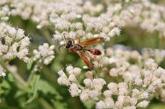 Free Isodontia Wasp On Boneset Flowers Stock Photography - 20482962
