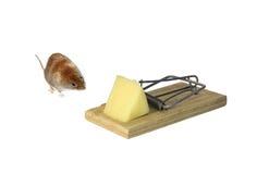 在捕鼠器旁边的小的棕色老鼠有乳酪isol片断的  免版税库存图片