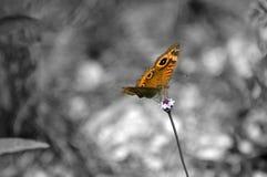 Isolação da borboleta de B & de W Imagem de Stock Royalty Free