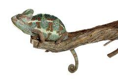 Isolação do Chameleon no branco imagens de stock royalty free