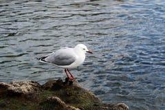 Isola Birdy 2 della capra Fotografie Stock