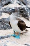isola Blu-footed di Booby.Seymour, Galapagos. Fotografie Stock Libere da Diritti
