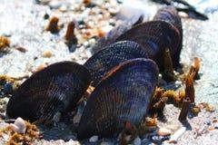 Isola Carolina del Sud dei tori delle conchiglie di ostrica immagine stock libera da diritti