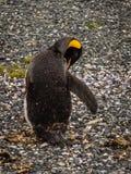 Isola dei pinguini nel Manica del cane da lepre, Ushuaia, Argentina fotografia stock libera da diritti