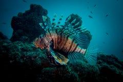 Isola del hallanyiat dell'Oman del pesce del leone Fotografia Stock