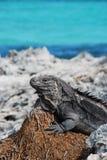 Isola dell'iguana Fotografie Stock Libere da Diritti