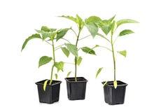 Isola della verdura di piano della paprica di tre piantine (capsico, peperoni) fotografia stock libera da diritti