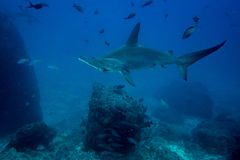 Isola di cocos dello squalo martello Fotografie Stock
