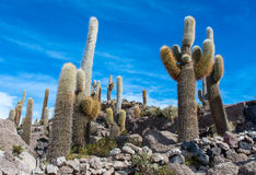 Isola di Incahuasi in Salar de Uyuni in Bolivia Fotografia Stock