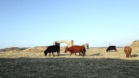 Isola di Llanddwyn che pasce il bestiame stock footage