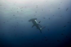 Isola di malpelo dello squalo martello Fotografia Stock