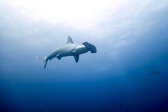 Isola di malpelo dello squalo martello Immagine Stock Libera da Diritti