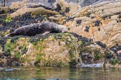 Isola di riposo Grey Seal di Farne Immagine Stock Libera da Diritti