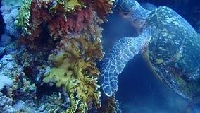 Isola di Tiran del Mar Rosso dell'Egitto archivi video