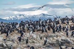Isola di uccelli del mare dei cormorani - Manica del cane da lepre, Ushuaia, Argentina Fotografie Stock