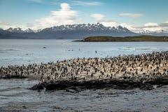 Isola di uccelli del mare dei cormorani - Manica del cane da lepre, Ushuaia, Argentina Fotografie Stock Libere da Diritti