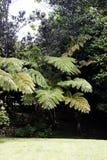 Isola Hawai di Fern Tree And Vegetation Big del prato inglese dell'erba Immagini Stock Libere da Diritti