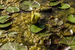 Isola Polvese: Λίμνη κρίνων νερού Στοκ εικόνες με δικαίωμα ελεύθερης χρήσης