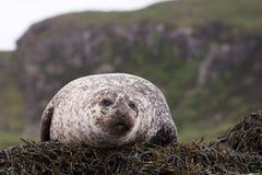 Isola selvaggia della guarnizione comune di Skye Fotografia Stock