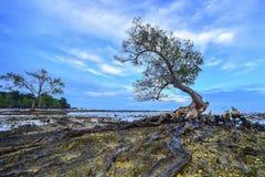 Isola sola Indonesia del singkep dell'albero Immagini Stock