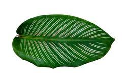 Isolado branco do fundo da listra do pino do ornata de Calathea das folhas foto de stock royalty free