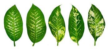 Isolado branco do fundo da listra do pino do ornata de Calathea das folhas imagens de stock royalty free