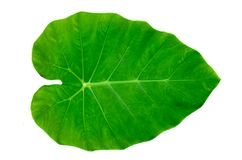 Isolado branco do fundo da listra do pino do ornata de Calathea das folhas imagens de stock