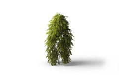 Isolado Broadleaf da árvore Fotos de Stock Royalty Free