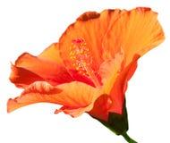 Isolado da flor alaranjada do hibiscus. imagem de stock royalty free