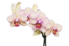 Isolado da orquídea Fotografia de Stock Royalty Free